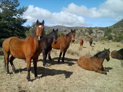 chevaux nocito
