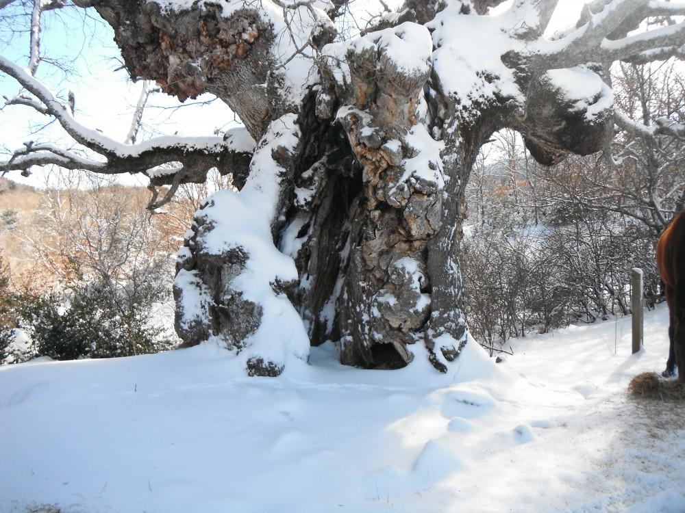 le chêne millénaire de San Urbez