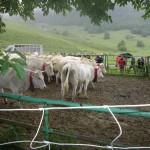 Marquage des troupeaux sur le Plateau du Benou